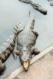 Crocodile adulte d'eau doux de Thaïlande Photographie stock