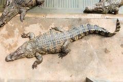 Crocodile adulte d'eau doux de Thaïlande Photo libre de droits