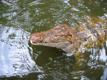 Crocodile affamé Photo stock