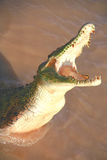 Crocodile affamé Image libre de droits
