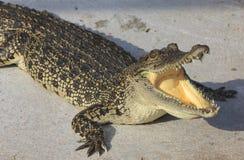 Crocodile agape. Shot in Samut Prakan Crocodile Farm Stock Image