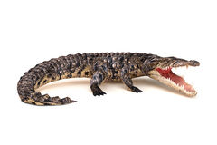 Crocodile in aggressive stance. Isolated on a white background Stock Image