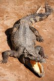 Crocodile agressif Photographie stock