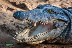 Crocodile or Aligator. Close up of a Crocodile or Alligator Stock Images