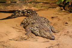 Crocodile, aligator sand Royalty Free Stock Photography
