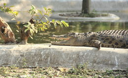 Crocodile. stock photography