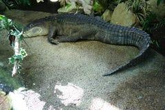 Crocodile , Alligator. Crocodile Alligator on the beach Stock Images