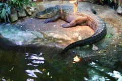 Crocodile , Alligator. Crocodile Alligator on the beach Stock Photo