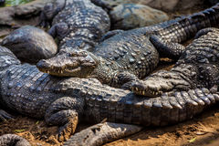 Crocodile alligator Stock Image