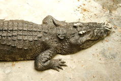Crocodile or alligator Stock Image