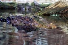 Crocodile Alligator cayman eye close up Stock Photography