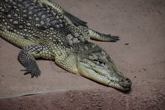Crocodile Alligator  and Cayman Stock Photo