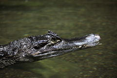 Crocodile Alligator  and Cayman Royalty Free Stock Photography
