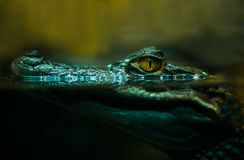 Crocodile alligator close up Royalty Free Stock Images