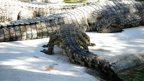 Crocodile or alligator coming out of a river in a natural park or zoo. Crocodile or alligator coming out of a river stock video