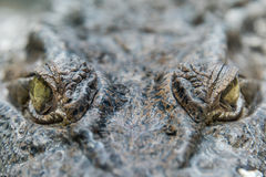Crocodile Alligator eye close up Royalty Free Stock Photos