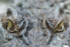 Crocodile Alligator eye close up Royalty Free Stock Photos