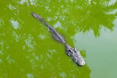 Crocodile or Alligator in the green dirty water for animal backg Royalty Free Stock Image
