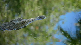 Crocodile or alligator in river of natural park. Crocodile or alligator swimming in river of natural park stock footage