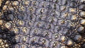 Crocodile or alligator skin background or texture Stock Photo