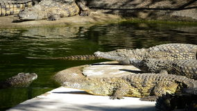 Crocodile or alligator sunbathing in river of natural park. Crocodile or alligator sunbathing in the river stock video