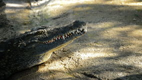 Crocodile or alligator sunbathing in a river of natural park. Crocodile or alligator in the river stock video