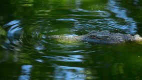 Crocodile or alligator swimming in river of natural park stock footage