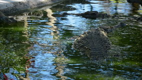 Crocodile or alligator swimming in a river of natural park or zoo. Crocodile or alligator in the river stock video footage