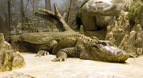 Crocodile alligator tooth reptile predator. Nostril fall Stock Images