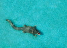 Crocodile Alligator in Water. Horizontal photo of an alligator in clean blue water. The crocodile have his mouth open, view from above Stock Photos