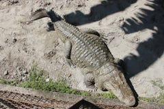 Crocodile. Alligator. Royalty Free Stock Photography