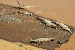 Crocodile américain Images stock