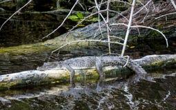 Crocodile américain Photographie stock libre de droits
