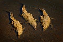 Crocodile américain, acutus de Crocodylus, trois animaux dans l'eau de rivière Scène de faune de nature Crocodiles de rivière Tar Photographie stock libre de droits