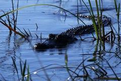 Crocodile américain venant pour nous étudier Images stock