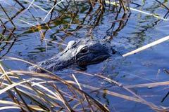 Crocodile américain venant pour nous étudier Photos libres de droits