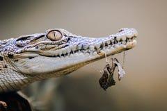 Crocodile, animal, Photographie stock