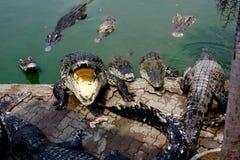Crocodile. The Crocodile in Animal Farm,Eerie Fang and Eyes Look dangerous Royalty Free Stock Photos