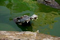Crocodile. The Crocodile in Animal Farm,Eerie Fang and Eyes Look dangerous Stock Images