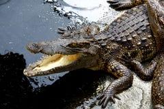 Crocodile. The Crocodile in Animal Farm,Eerie Fang and Eyes Look dangerous Stock Photos