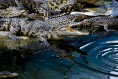 Crocodile. The Crocodile in Animal Farm,Eerie Fang and Eyes Look dangerous Stock Photography