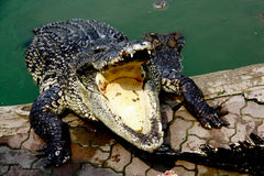 Crocodile. The Crocodile in Animal Farm,Eerie Fang and Eyes Look dangerous Royalty Free Stock Photo