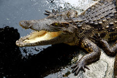 Crocodile. The Crocodile in Animal Farm,Eerie Fang and Eyes Look dangerous Royalty Free Stock Images