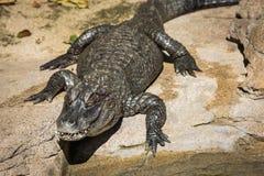 Crocodile. Animal in San Diego Zoo Royalty Free Stock Image