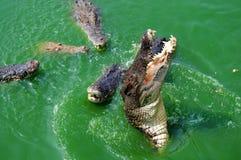 Crocodile attack Stock Photo