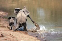 Crocodile Attack Elephant Stock Images
