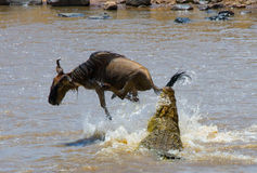 Crocodile attack wildebeest in the Mara river. Great Migration. Kenya. Tanzania. Masai Mara National Park. Stock Image