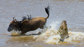 Crocodile attack wildebeest in the Mara river. Great Migration. Kenya. Tanzania. Masai Mara National Park. Royalty Free Stock Images