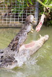 Crocodile Attacking Bait. A crocodile attacks bait on a pole in a display in Queensland, Australia Stock Image