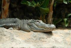 Crocodile au côté de fleuve Image stock